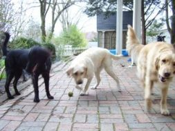 Bing and Hudson with Emma Rose in the back yard. Note they are moving in the same direction and have plenty of room to maneuver around each other.