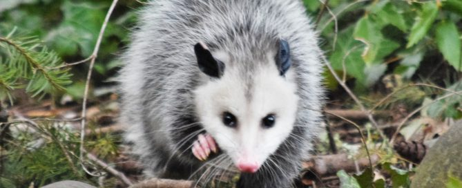 opossum dog